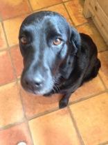 Begging labrador - furry muses