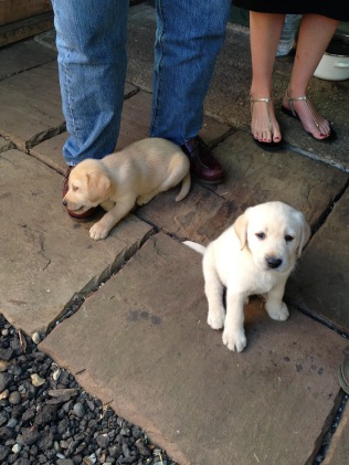 Cutest labrador pup - furry muses