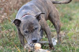 Asha eating stick - furry muses